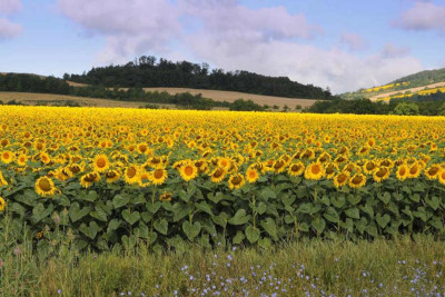 sunflowers region gites
